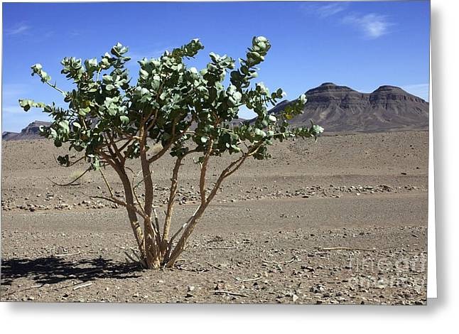 Apple Of Sodom Calotropis Procera Tree Greeting Card by Dirk Wiersma