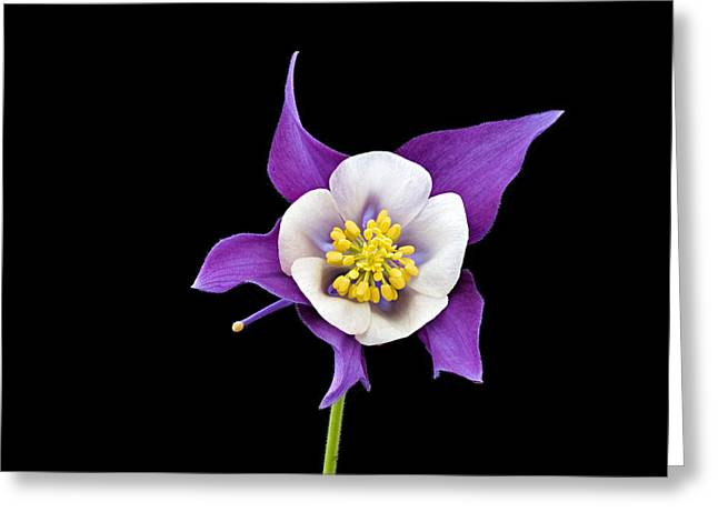 Greeting Card featuring the photograph Aquilegia - Purple by Paul Gulliver