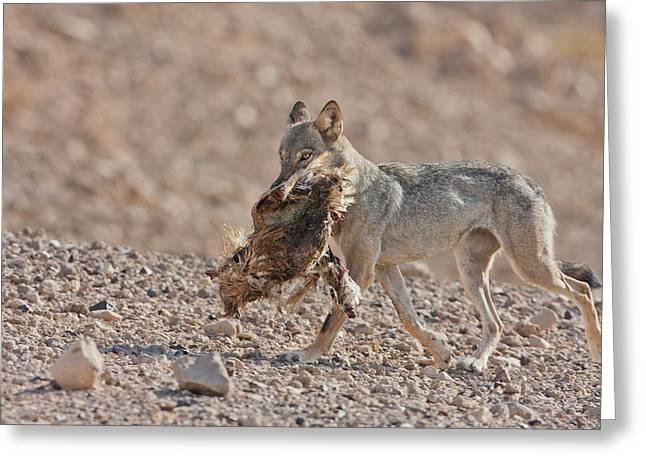 Arabian Wolf (canis Lupus Arabs) Greeting Card by Photostock-israel