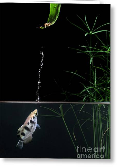 Archerfish Greeting Card