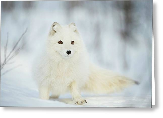 Arctic Fox In The Snow Greeting Card by Dr P. Marazzi/science Photo Library