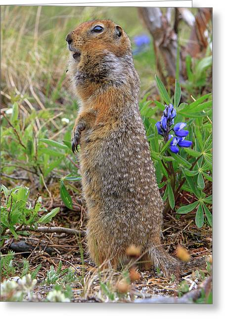 Arctic Ground Squirrel Greeting Card by Tom Norring