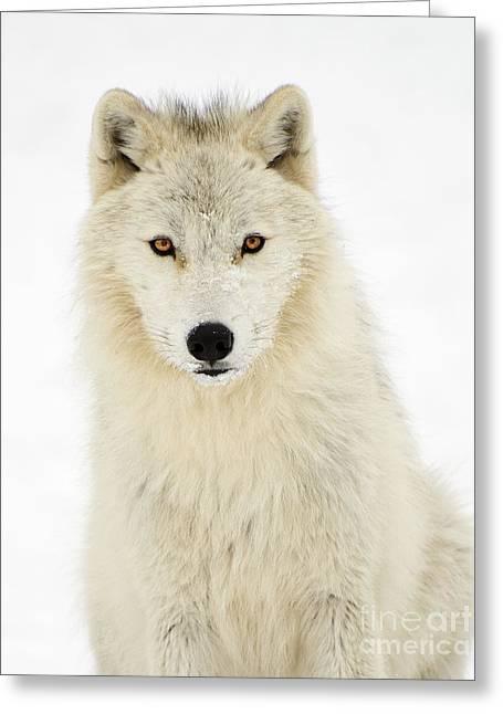 Arctic Predator Greeting Card by Joshua McCullough