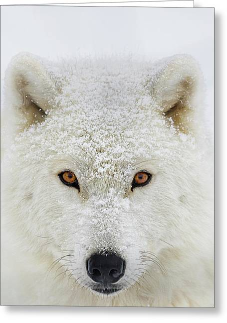Arctic Wolf  Canis Lupus Arctos Greeting Card by Dominic Marcoux