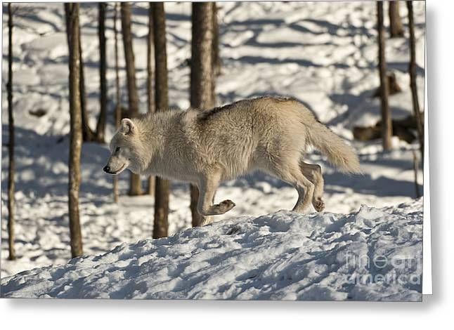 Greeting Card featuring the photograph Arctic Wolf by Wolves Only