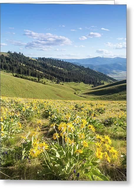 Arrowleaf Balsamroot Wildflowers Greeting Card by Chuck Haney