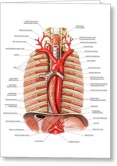 Arterial System Of Oesophagus Greeting Card by Asklepios Medical Atlas