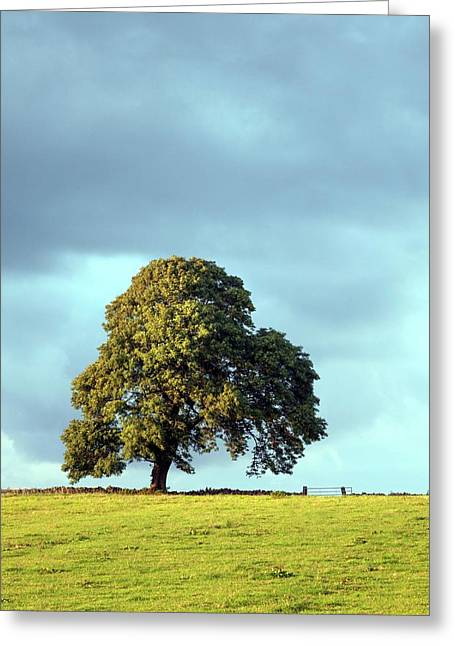 Ash Tree Greeting Card