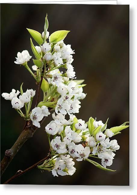 Asian Pear (pyrus Pyrifolia) Greeting Card by Maria Mosolova