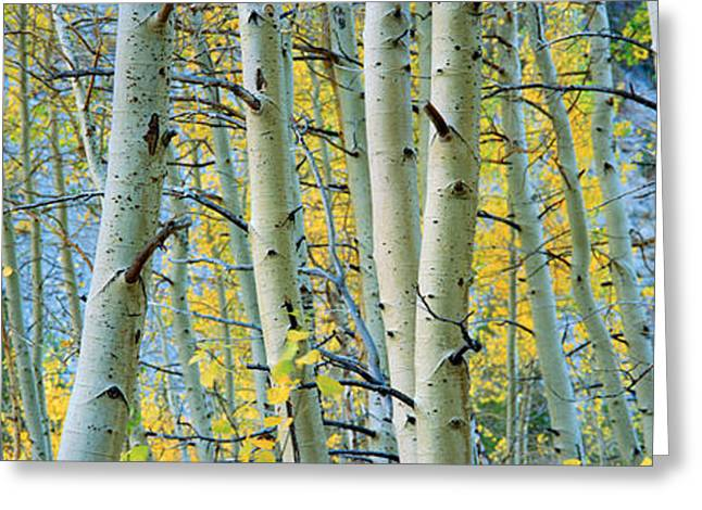 Aspen Trees In A Forest, Rock Creek Greeting Card by Panoramic Images