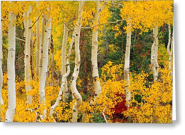 Aspen Trees In Autumn, Dixie National Greeting Card
