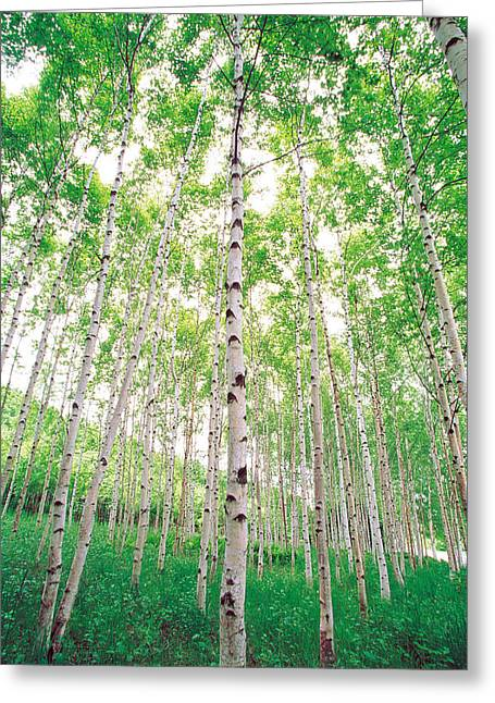 Aspen Trees, View From Below Greeting Card by Panoramic Images