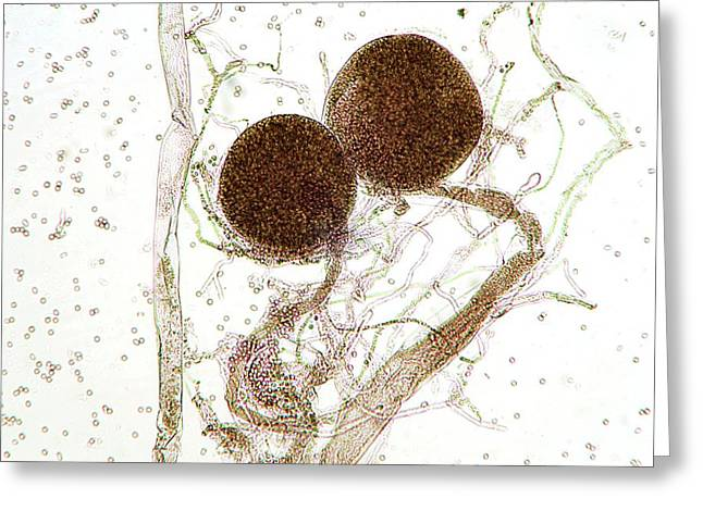 Aspergillus Fungus Greeting Card