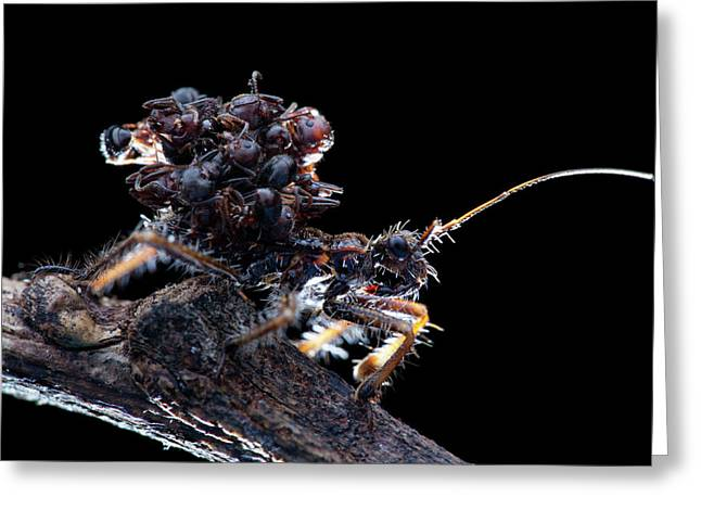 Assassin Bug With Dead Ants Greeting Card by Melvyn Yeo