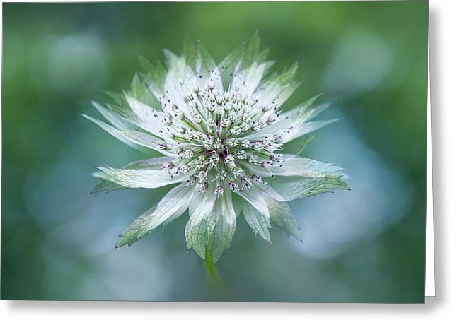 Astrantia Greeting Card by Jacky Parker