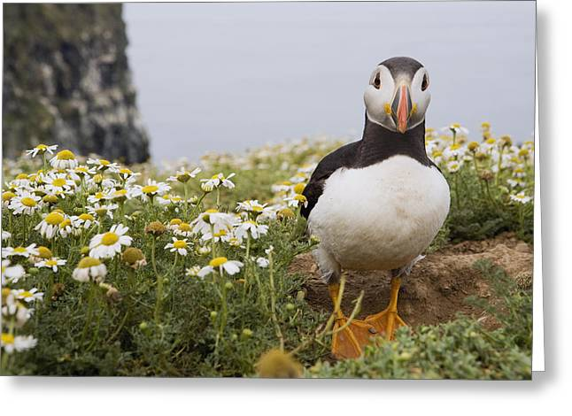 Atlantic Puffin In Breeding Plumage Greeting Card