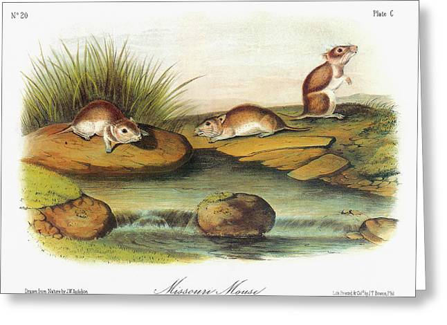 Audubon Mouse Greeting Card by Granger