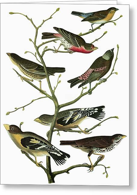 Audubon Songbirds Greeting Card by Granger