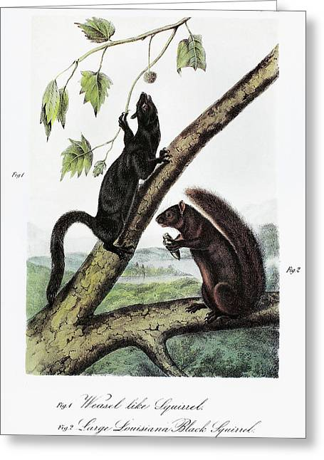 Audubon Squirrels Greeting Card by Granger