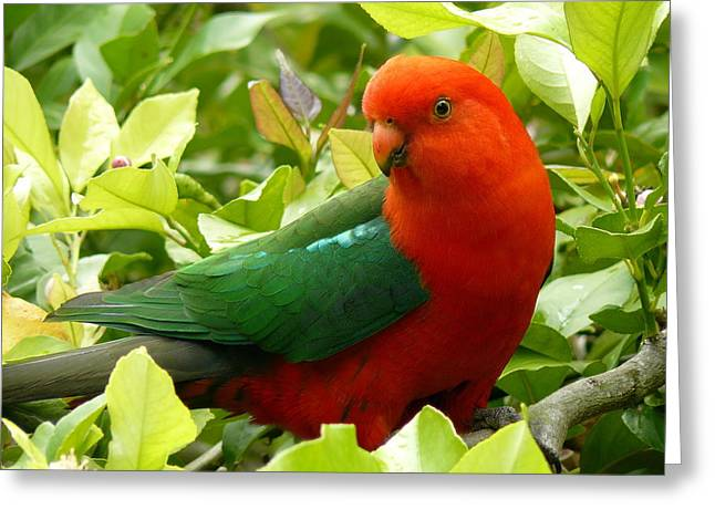 Greeting Card featuring the photograph Australian King Parrot by Margaret Stockdale
