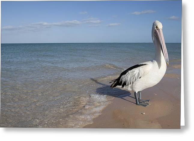 Australian Pelican Greeting Card by Science Photo Library