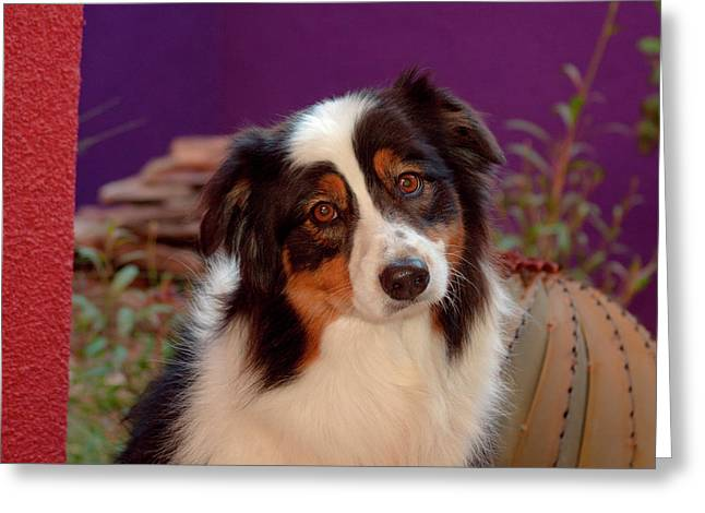 Australian Shepherd Portrait (mr & Pr Greeting Card