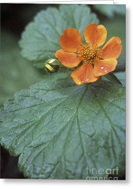 Avens Geum Georgenberg Greeting Card by Maxine Adcock