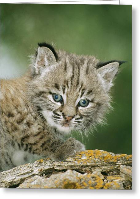 Baby Bobcat Greeting Card by M. Watson