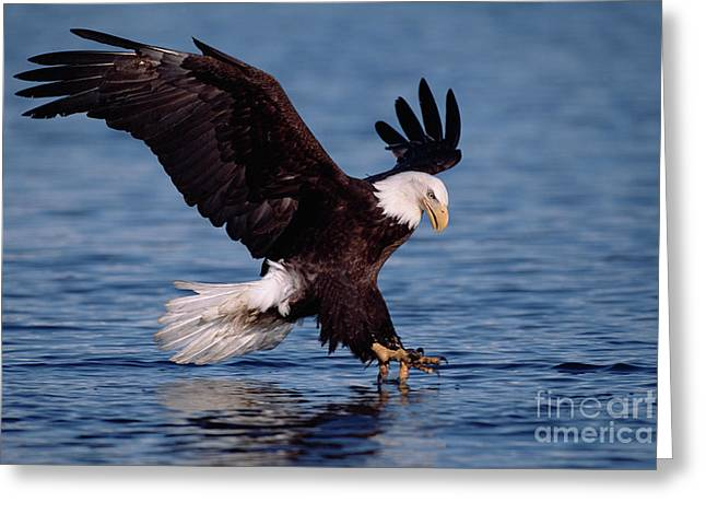 Bald Eagle Fishing Kenai Greeting Card by Yva Momatiuk John Eastcott