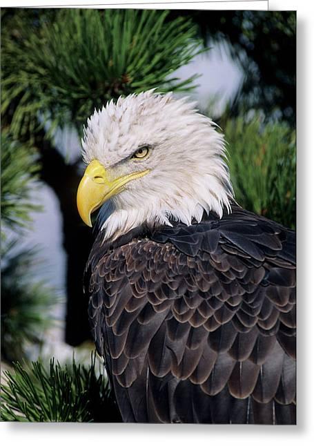 Bald Eagle (haliaeetus Leucocephalus Greeting Card by Richard and Susan Day