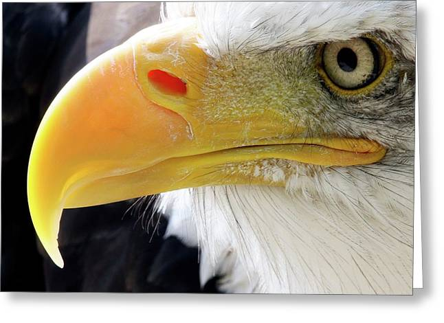 Bald Eagle Greeting Card by John Devries/science Photo Library