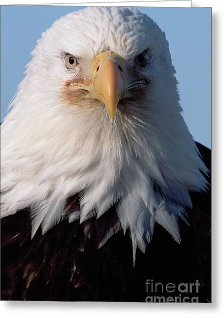 Bald Eagle Portrait Alaska Greeting Card
