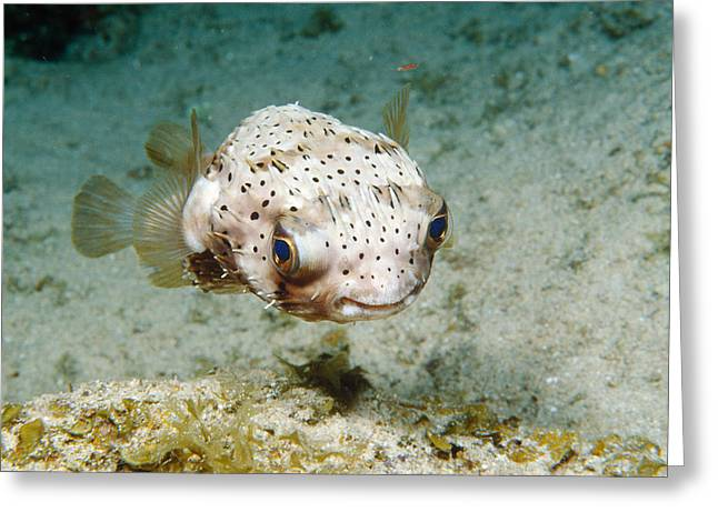Balloonfish Greeting Card by Andrew J. Martinez