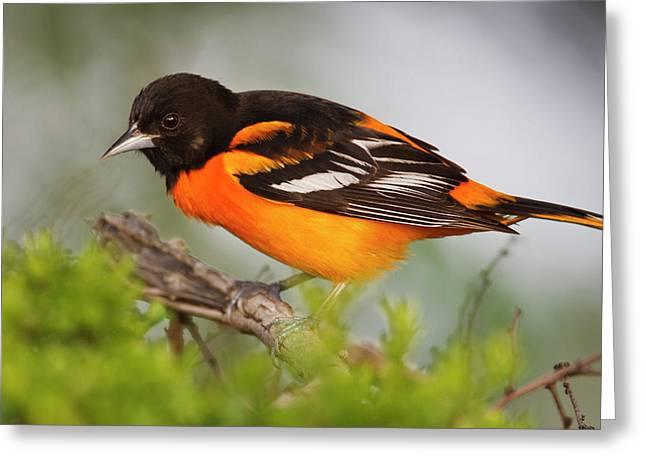 Baltimore Oriole Foraging Greeting Card