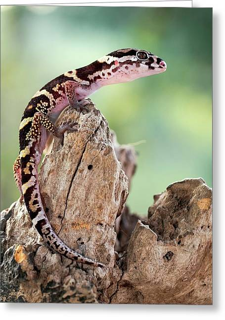 Banded Gecko Greeting Card