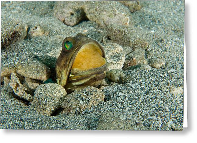Banded Jawfish Incubating Eggs In Mouth Greeting Card by Andrew J. Martinez