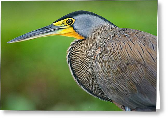 Bare-throated Tiger Heron Tigrisoma Greeting Card by Panoramic Images