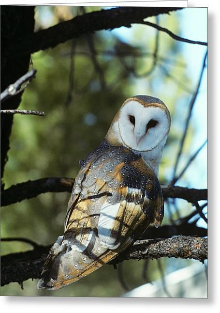 Barn Owl Tyto Alba Worldwide Range High Greeting Card