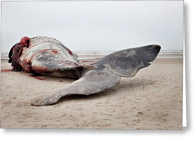 Beached Sperm Whale Body Greeting Card