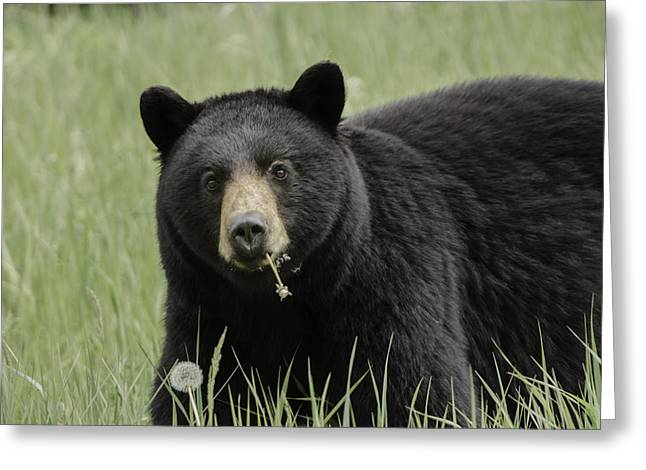 Beautiful Black Bear Eating Dandelions Greeting Card by Lisa Hufnagel