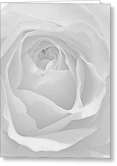 Beautiful Macro Close Up Of Fresh Sprring Rose Flower With Vibra Greeting Card by Matthew Gibson