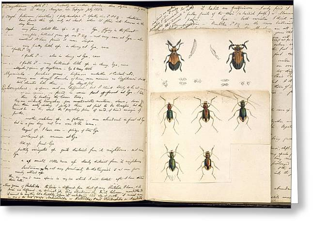Beetles, 18th Century Illustration Greeting Card by Science Photo Library