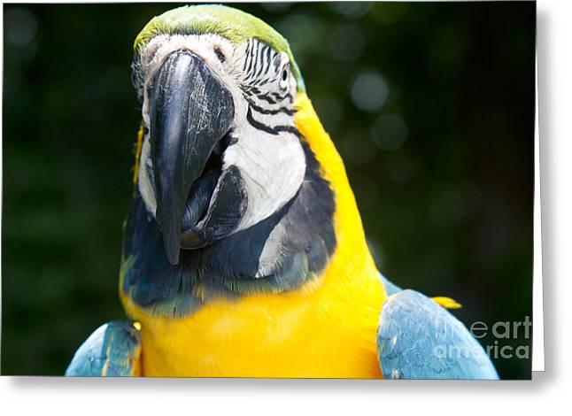Blue And Yellow Macaw - Ara Ararauna - Kailua Maui Hawaii  Greeting Card by Sharon Mau