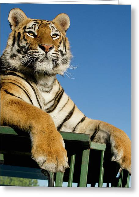 Bengal Tiger Searching For Prey Atop Greeting Card by Jan and Stoney Edwards