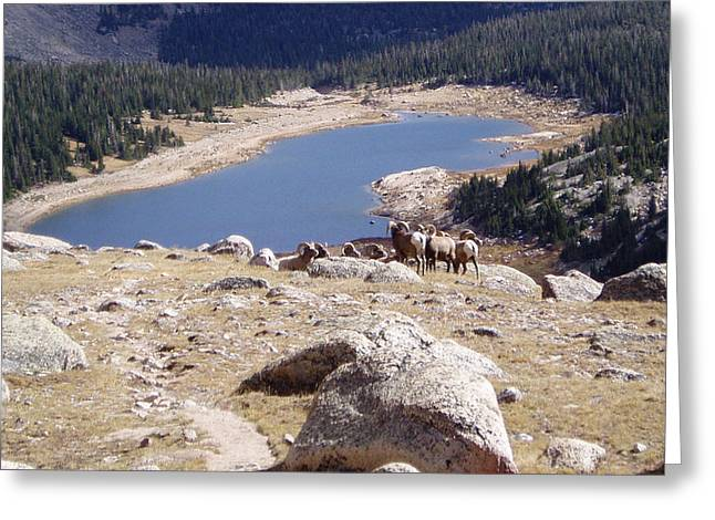 Big Horn Sheep Gang Greeting Card