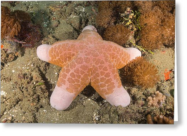 Big-plated Sea Star Greeting Card