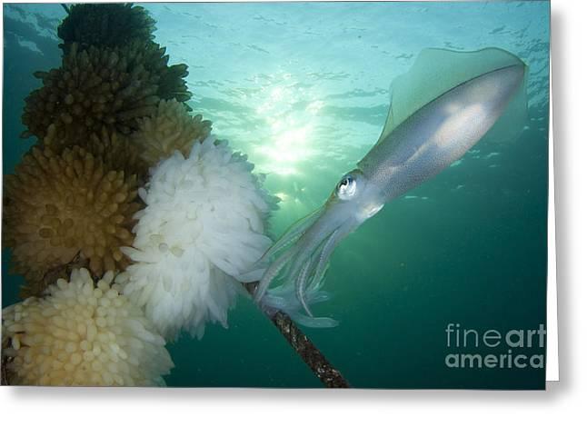 Bigfin Reef Squid Tending Eggs Greeting Card by Steve Jones