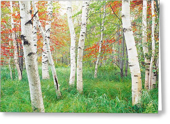 Birch Trees In A Forest, Acadia Greeting Card
