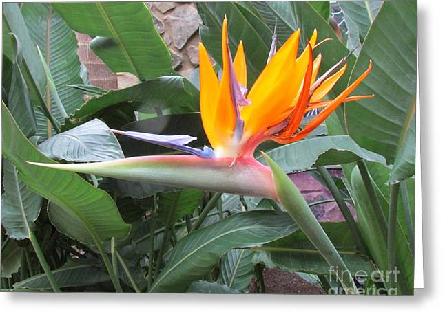 Bird Of Paradise Greeting Card by Nancy Rucker