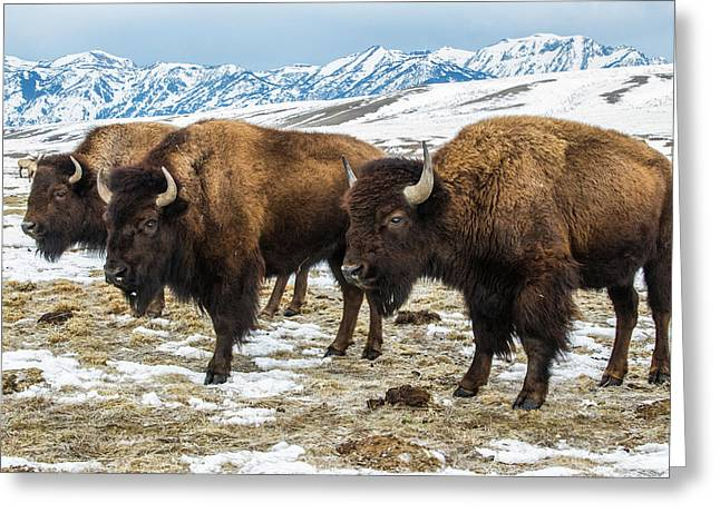 Bison In The 24,700-acre National Elk Greeting Card